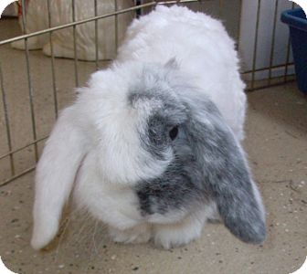 American Fuzzy Lop for adoption in Foster, Rhode Island - Lloyd