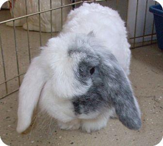 American Fuzzy Lop for adoption in Foster, Rhode Island - Lloyd
