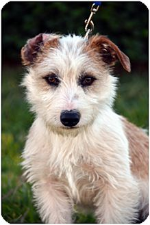 Jack Russell Terrier/Terrier (Unknown Type, Small) Mix Puppy for adoption in El Cajon, California - PHILLIP