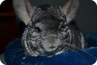 Chinchilla for adoption in Patchogue, New York - Cloud