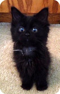 Domestic Mediumhair Kitten for adoption in Troy, Michigan - Torii Hunter