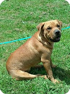 Shar Pei/Labrador Retriever Mix Dog for adoption in Moulton, Alabama - Sheena