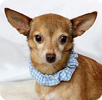 Chihuahua Dog for adoption in Dallas, Texas - Colin
