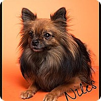 Adopt A Pet :: Niles - Orange, CA