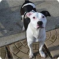 Adopt A Pet :: Polly Pocket - Nashville, TN