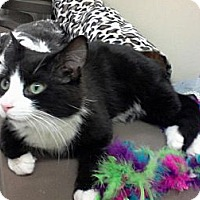 Adopt A Pet :: Figaro - West Dundee, IL