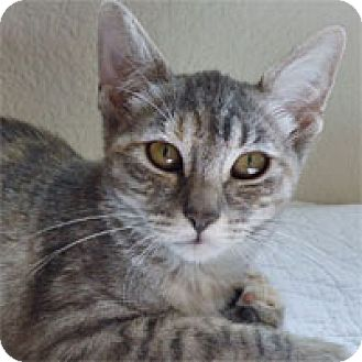 Domestic Shorthair Cat for adoption in Pacific Grove, California - Misty