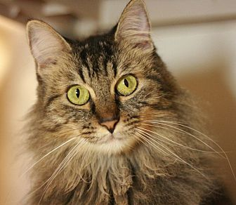 Domestic Mediumhair Cat for adoption in Canoga Park, California - Sophia