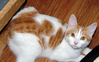 Domestic Shorthair Cat for adoption in Brainardsville, New York - Bethany