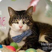 Adopt A Pet :: Hemingway - Brockton, MA