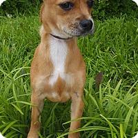 Adopt A Pet :: Nellie - Bridgeton, MO