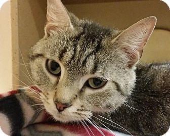Domestic Shorthair Cat for adoption in Grayslake, Illinois - Wilda