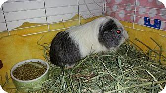 Guinea Pig for adoption in Cedar Rapids, Iowa - Emolga