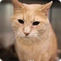 Adopt A Pet :: Bali - Appleton, WI