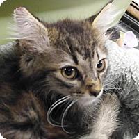 Adopt A Pet :: Reno (Kitten) - Las Vegas, NV