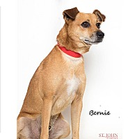 Rat Terrier/Dachshund Mix Dog for adoption in Laplace, Louisiana - Bernie