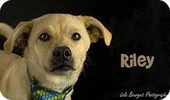 Labrador Retriever/Dachshund Mix Puppy for adoption in Kirkland, Quebec - Riley