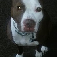 American Pit Bull Terrier Dog for adoption in Fulton, Missouri - Abby - Connecticut