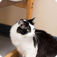 Domestic Mediumhair Cat for adoption in Fountain Hills, Arizona - Splash