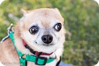 Chihuahua Dog for adoption in Tucson, Arizona - Red