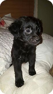 Labrador Retriever Puppy for adoption in Sanford, Florida - Rain