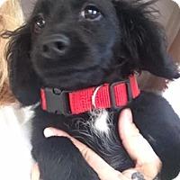 Adopt A Pet :: Tux - Thousand Oaks, CA
