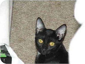 Domestic Shorthair Cat for adoption in Orlando, Florida - Pepper