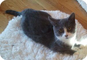 Domestic Shorthair Kitten for adoption in Colorado Springs, Colorado - Raye