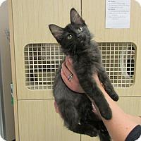 Adopt A Pet :: Basil - Gilbert, AZ