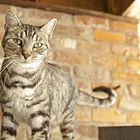 Domestic Mediumhair Cat for adoption in Thibodaux, Louisiana - Jake FE1-8742