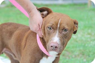 Staffordshire Bull Terrier Mix Dog for adoption in Summerville, South Carolina - Brooks