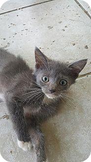 Domestic Shorthair Kitten for adoption in Tampa, Florida - Momma's Girl