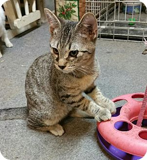 Domestic Shorthair Kitten for adoption in Morganton, North Carolina - Aragon