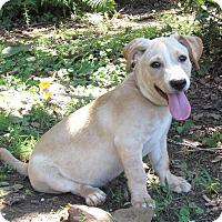 Adopt A Pet :: BOAZ - Hartford, CT
