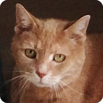 Domestic Shorthair Cat for adoption in Toronto, Ontario - Ginger