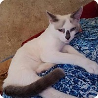 Domestic Shorthair Cat for adoption in Cheltenham, Pennsylvania - Betty