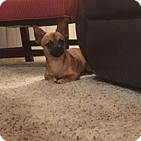 Chihuahua Mix Puppy for adoption in Rockford, Illinois - Riley