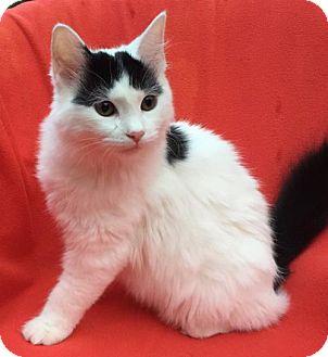 Domestic Mediumhair Cat for adoption in San Jose, California - Moo Meow