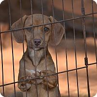Adopt A Pet :: Hannah - Springfield, VA