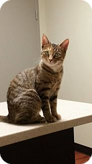Domestic Shorthair Cat for adoption in Woodstock, Ontario - Chirpy
