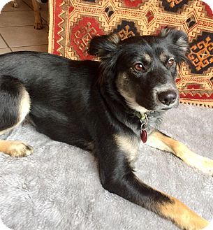 Border Collie Mix Dog for adoption in Haggerstown, Maryland - Sheba