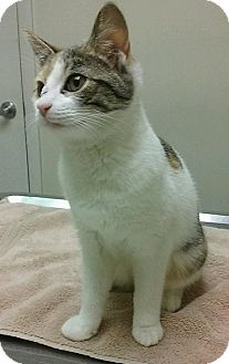 Calico Cat for adoption in Hopkinsville, Kentucky - TIA