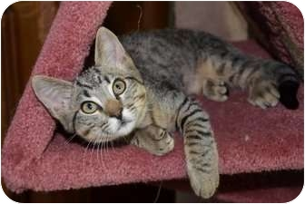 Domestic Shorthair Kitten for adoption in Davis, California - Reno