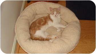 Domestic Shorthair Cat for adoption in Spotsylvania, Virginia - Sonny