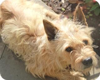 Cairn Terrier/Poodle (Miniature) Mix Dog for adoption in Norwalk, Connecticut - Carolina - adoption pending