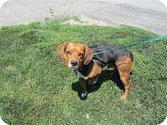 Beagle Dog for adoption in Overland Park, Kansas - Snoopy