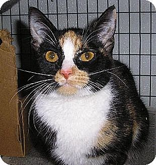 Domestic Shorthair Kitten for adoption in Eldora, Iowa - Nora