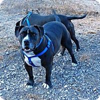 Adopt A Pet :: Diesel - Lompoc, CA