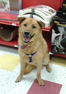 Labrador Retriever/Jindo Mix Dog for adoption in Studio City, California - Candy