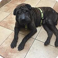 Adopt A Pet :: Hershey (fkaCaesar) in TX - Mira Loma, CA
